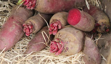 comment cuisiner la betterave classification des légumes les légumes racines
