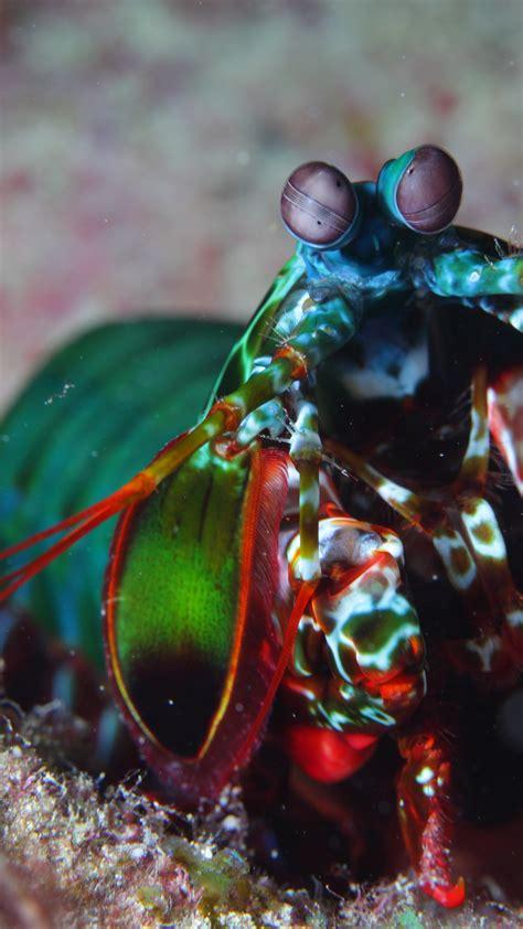 wallpaper mantis shrimp indian pacific ocean africa