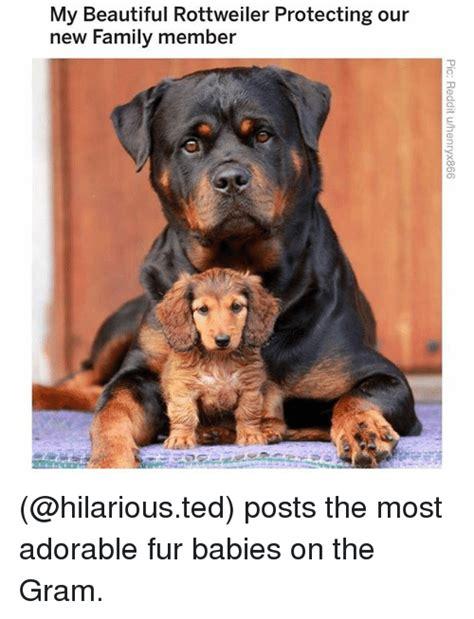beautiful rottweiler protecting   family member