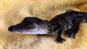 Bebe Crocodile Mexicain