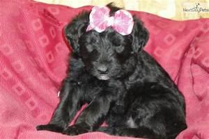 Shepadoodle puppy for sale near Grand Rapids, Michigan ...