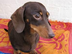Miniature Chocolate smooth haired dachshund | Blackpool ...