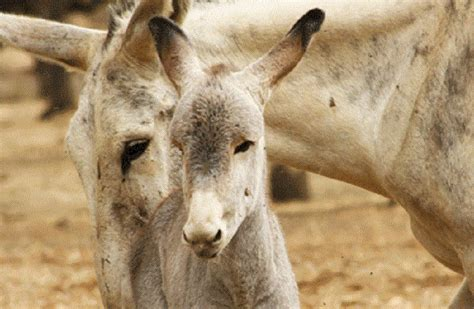 donkey andalusian classification facts september petworlds