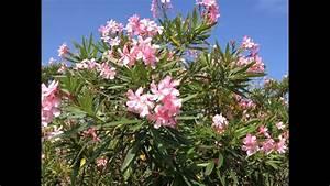 Oleander  Poisonous Plants