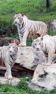 White Tiger's Coat Linked To Pigment Gene Variant | HuffPost