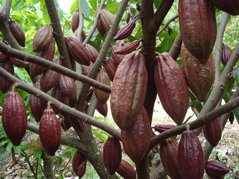 budidaya tanaman coklat  pemula tanaman hias