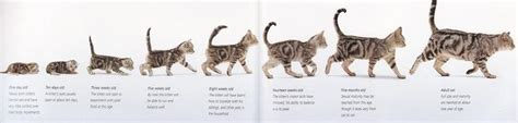 kitten  cat growth kitten adoption rescue tnr   age  kitten visual guide