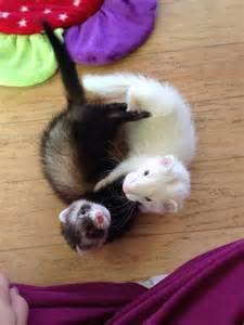 Ferrets Playing with Cats