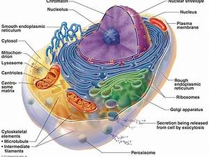 Mitochondria And Human Disease   Autophagy 4