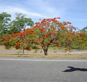 Baum Mit Blüten : atherton tabelands mission beach ~ Frokenaadalensverden.com Haus und Dekorationen