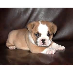 english bulldog pug mixes images  pinterest