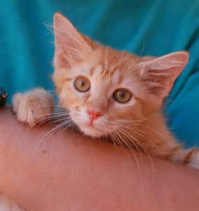 baby cats for adoption nevada spca animal rescue the bowl kittens are