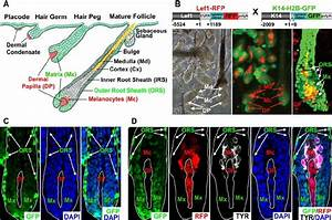 Hair Follicle Morphogenesis And Differential Expression Of