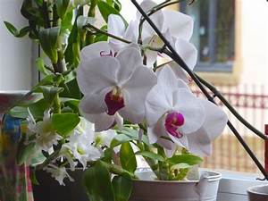 Rempoter Une Orchidee : fiche conseil comment faire refleurir une orchid e ~ Mglfilm.com Idées de Décoration