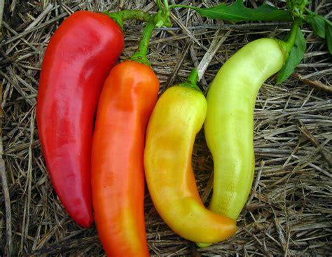 Sweet Banana (Long Sweet Hungarian) Sweet Pepper