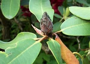 Braune Blätter Am Rhododendron : braune knospen knospenf ule pilzsporen pilzbefall durch ~ Lizthompson.info Haus und Dekorationen