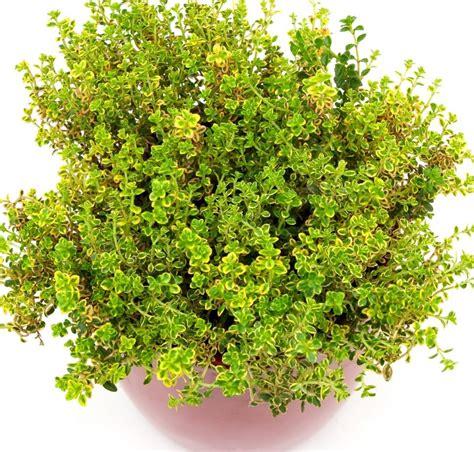 vaso per pianta timo limone pianta in vaso prezzo e vendita