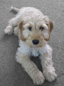 Cockapoo: Cocker Spaniel Poodle Mix - Dogable