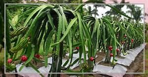 Pitaya Plantar