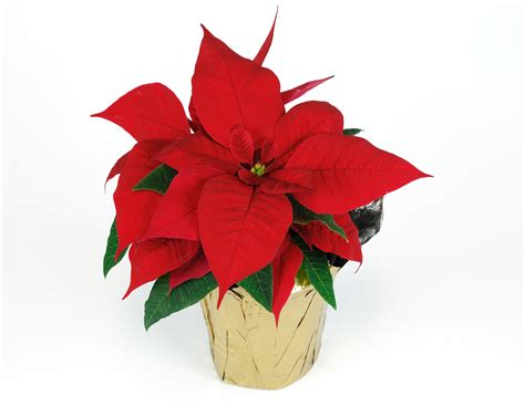 poinsettia plant images poinsettia plant fun facts care wedel s nursery