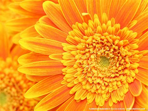 Orange Wallpaper Flower by Flowers Wallpapers Orange Flowers Wallpapers