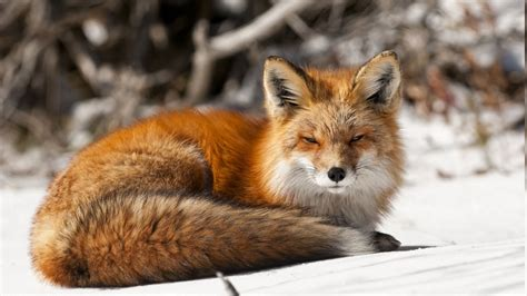 Fox Animal Wallpaper - nature animals fox snow wallpapers hd desktop and