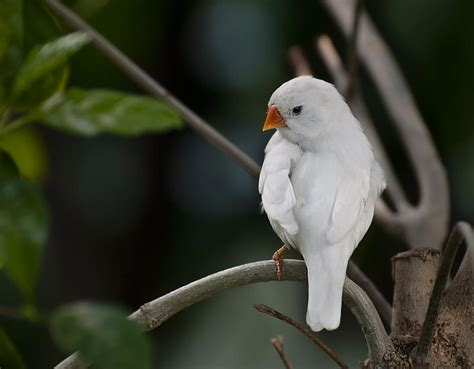 white finch photograph by robin webster