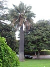 total wine palm gardens jubaea chilensis the chilean wine palm world s largest