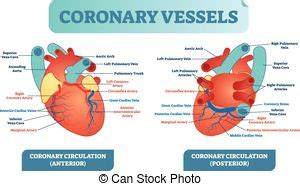 Capillaries surround body cells and tissues to deliver and absorb oxygen, nutrients, and other substances. Human heart blood flow anatomy with microscopic red blood ...