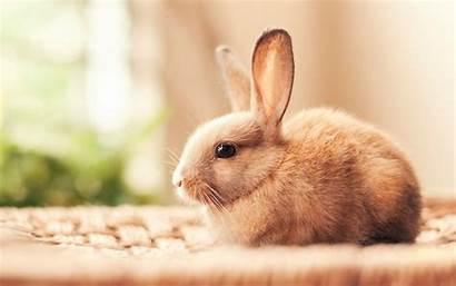 Rabbit Rabbits Animals Bunnies Wallpapers Desktop Hares