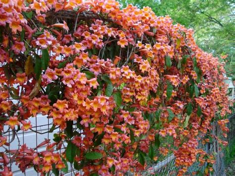vining plants for sun 47 best images about shade plants for austin tx zone 8 on pinterest drought tolerant sun