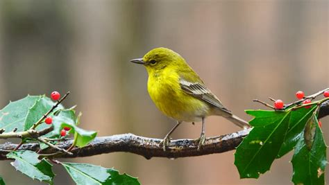 Pine warbler Footage   Stock Clips
