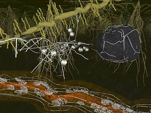 Arbuscular mycorrhiza | Science – a picture story