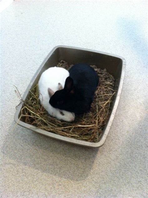 by chris d house rabbits litter training rabbits rabbit litter rabbit litter box