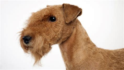 lakeland terrier dog breed selector animal planet