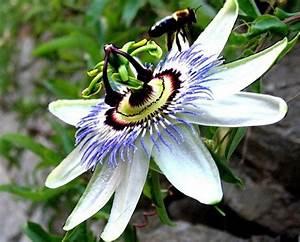 Pasiflora O Flor De La Pasi U00f3n  Propiedades Y Beneficios