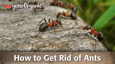getting rid of ants how to get rid of ants organic gardening blog
