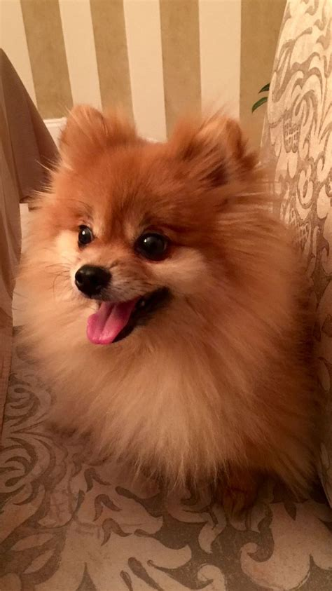 17 best images about pomeranian on