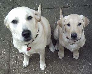 How Is Whiskey Made Yellow Labrador Retriever Breed Information And Faq
