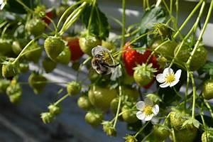 Tuin - Aardbeienplant