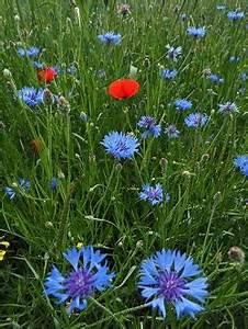 Graines Fleurs Des Champs : semis et culture du bleuet des champs fleur pour prairies ~ Melissatoandfro.com Idées de Décoration