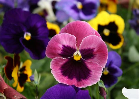 matrix pansies   dependable fall choice mississippi