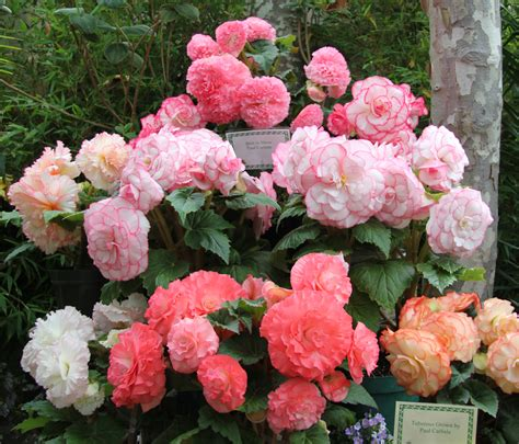 pictures of begonias in pots beguiling begonias on pinterest hanging baskets shade plants and bulbs