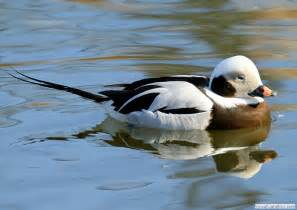 Sea Duck Identification