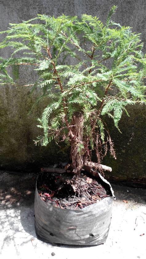 arbolito ahuehuete  bonsai tronco grueso  en