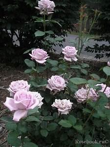 Mainzer Fastnacht Rose : mainzer fastnacht bluewhitepink garden rosen ~ Orissabook.com Haus und Dekorationen