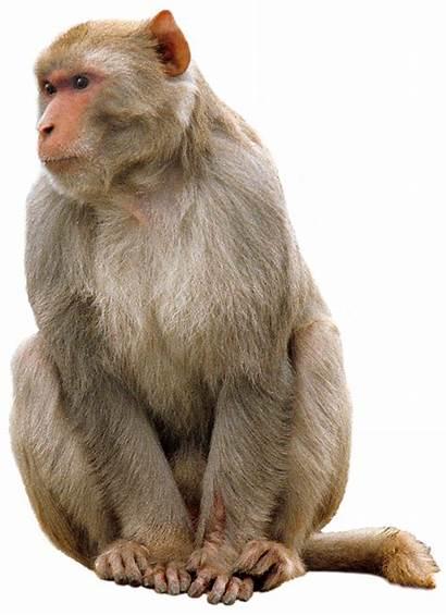 Monkey Transparent Animals Purepng