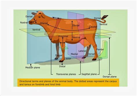 anatomical planes animal google search vizslas