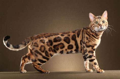 Bengal Cat Price Range Bengal Cat For Sale Cost Best