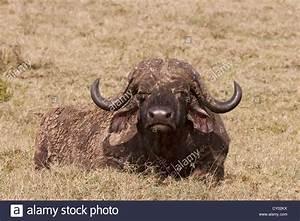 African, Buffalo, Syncerus, Caffer, Large, Adult, Male, Lying